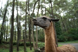 portrait of the head of a black Llama animal in a safari park with a forest background