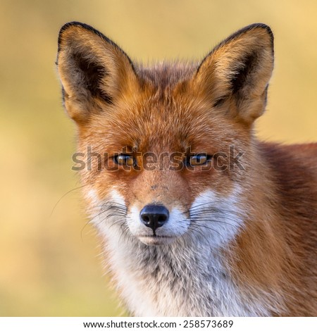Portrait of the head of a red fox (Vulpes vulpes) with yellow background. The beautiful wild animal of the wilderness. Shred looking in the camera. Eye to eye with a dodgy vulpine. #258573689