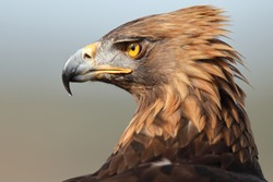 Portrait of the Iberian imperial eagle.In the early 20th century, this eagle was still a very abundant animal throughout much of its range, but in recent decades their numbers have plummeted.