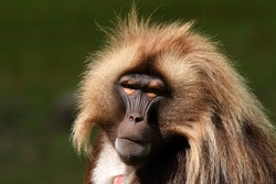 Portrait of the large gelada baboon male with green background. Close up picture of the rare and endangered african ape species.