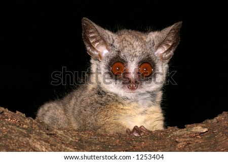 Portrait of the nocturnal Lesser Bushbaby (Galago moholi), South Africa