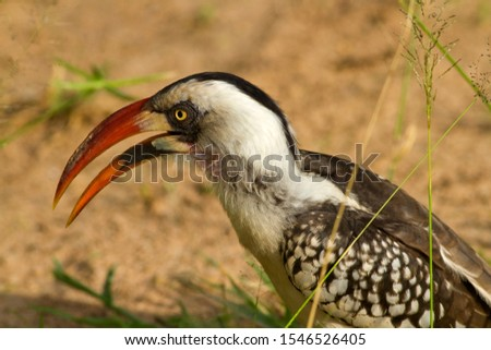 Portrait of the Ruaha Red-billed hornbill showing the distinctive colouration around the eyes and the bill of the male which has made this a new species endemic to the central Tanzania.