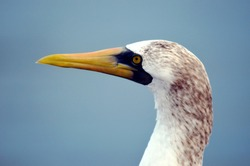 Portrait of the seabird named Masked Booby (Sula dactylatra).