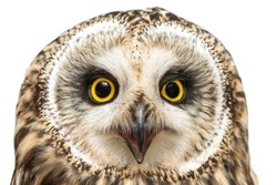 Portrait of the Short-eared Owl, Asio flammeus. Close-up. Isolated on white background