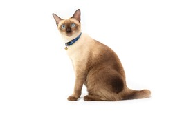 Portrait of the Siamese cat  are sitting on white background. Portrait of thai cat with blue eyes is sitting on white background.