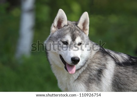 Portrait of the siberian husky puppy