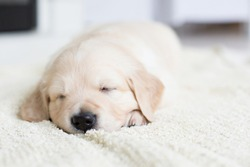 Portrait of the sleeping golden retriever puppy with rose ribbon. Cute one month old baby girl breed golden retriever
