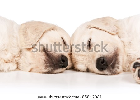 Portrait of the sleeping puppies golden retriever on a white background