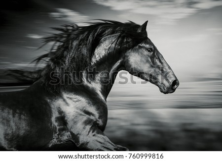 portrait of the Spanish running horse, black and white photo