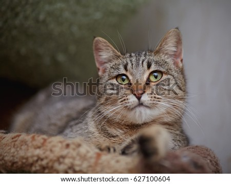 Portrait of the striped green-eyed lying cat. #627100604