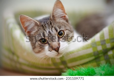 Portrait of the striped with white a cat.Striped with white a cat. Striped not purebred kitten. Small predator. Small cat.