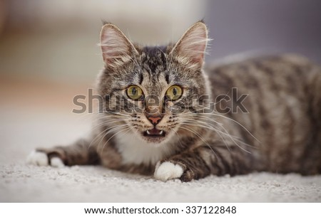 Portrait of the surprised domestic cat of a striped color with yellow eyes.