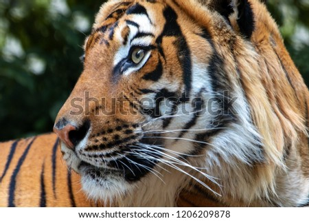 Portrait of the Tiger malayan, tigris panthera jacksoni in nature on green background. #1206209878