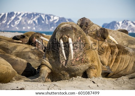 Portrait of the walrus lying with the group in Spitsbergen