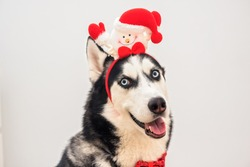 Portrait of the yawning funny husky dog in funny carnival antlers horn over the background. Close up