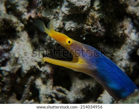 Portrait of the yellow-blue ribbon eel, Blue Ribbon Eel (Rhinomuraena quaesita) inside its lair. Macro shot. Togeans, Indonesia.