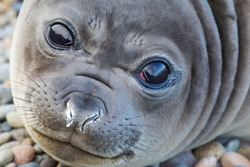 Portrait of the young elephant seal looking directly into the camera