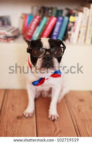portrait of thoughtful french bulldog