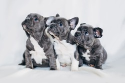 Portrait of three adorable bulldog puppies looking in one direction