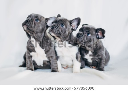 Portrait of three adorable bulldog puppies looking in one direction #579856090
