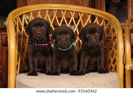 Black Labrador Sitting Brown Labrador Puppies Sit