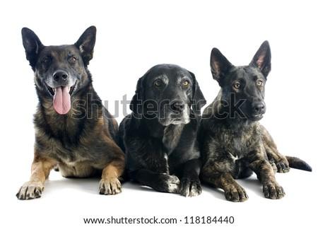 portrait of three dogs in a studio