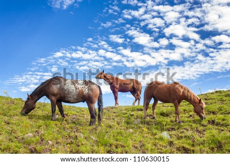 Portrait of three fierce quarter horses standing and grazing on a green hill taken from a lower angle - stock photo