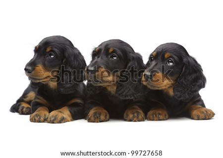 Portrait of three laying puppies of Dachshund on white