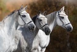 portrait of three mares gray stallions horses on the street in autumn in beautiful ammunition