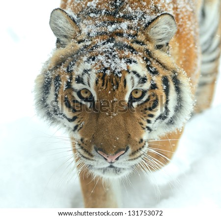 Portrait of Tiger in its natural habitat