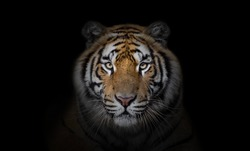 Portrait of tiger on dark background.