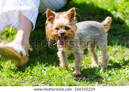 Portrait of tired small dog panting with grass and leg of owner in background.