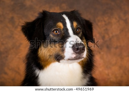 Australian Shepherd Puppies on Of Tricolour Australian Shepherd Dog On Brown Mottled Background