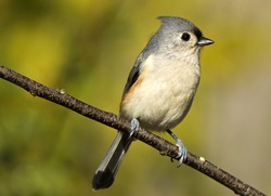 Portrait of Tufted Titmouse resting on branch