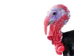 Portrait of turkey head in profile