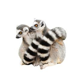 Portrait of two adult lemur katta (Lemur catta) on white background