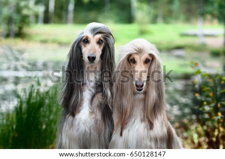 Portrait of two Afghan greyhounds, beautiful, dog show appearance. Beauty salon, grooming, dog care, hairstyles for dogs, dog stylist