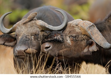 Portrait of two African or Cape buffalos (Syncerus caffer), Kruger National Park, South Africa