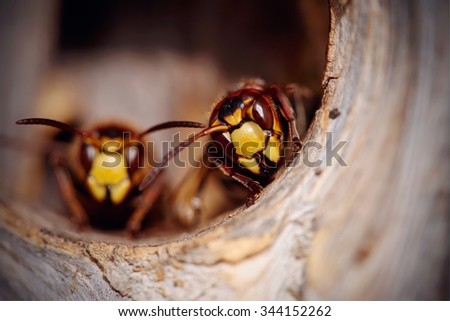 portrait of two big wasps  ...