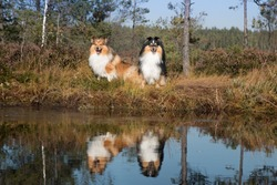 Portrait of two black sable and white shetland sheepdog with their mirror reflection. Nice, fluffy little lassie, sheltie, collie sitting outdoors near swamp, bog water. Relaxed holidays shot