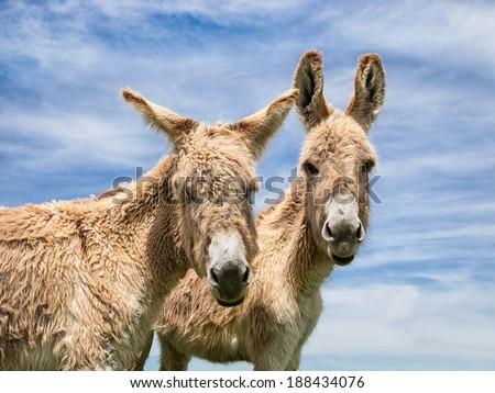 Portrait of two donkeys posing against blue sky, closeup #188434076