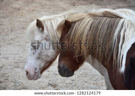 Portrait of two dozing ponies with their heads together. The eyes are half closed, the ears relaxed.