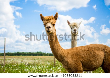 Portrait of two friendly curios brown and white alpacas looking in the camera in a green field on a sunny summer day.