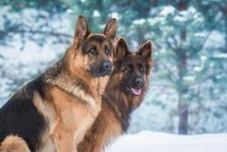 Portrait of two german shepherd dogs in winter