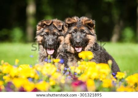 Portrait of two german shepherd puppies sitting in flowers