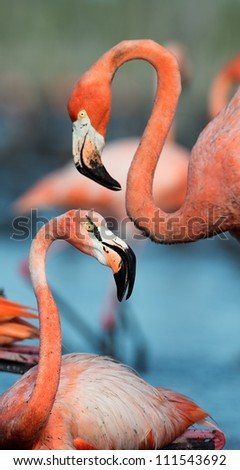 Portrait of two Great Flamingo on the blue background . Rio Maximo, Camaguey, Cuba.