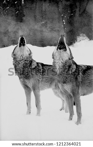 Stock Photo Portrait of two howling wolves. Wolf and she-wolf howling together. Black and white film photo
