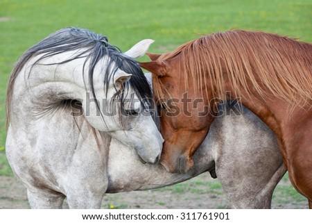 Stock Photo Portrait of two nice arabian horses
