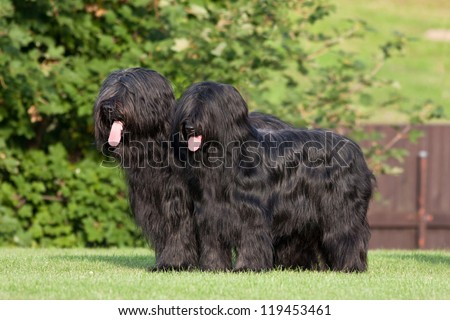 Portrait of two nice briard #119453461