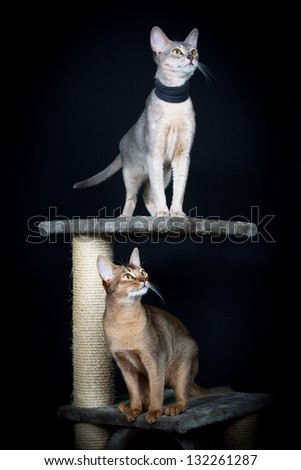 Portrait of two nice cats - abyssinian cat
